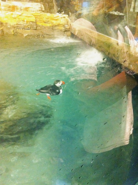 Hilarious puffin swimming against the current. I have a feeling he liked the attention and all the cameras on him.