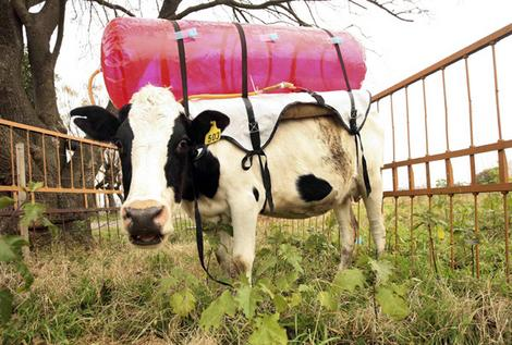 A cow stands in her pen at the National Institute of Agricultural Technology in Castelar