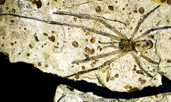 spider-fossil-e1390239788934